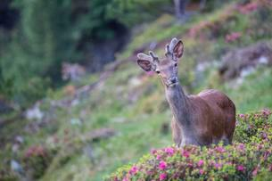 Red deer (Cervus elaphus), young deer with velvet antlersの写真素材 [FYI02860773]