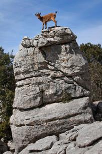Iberian Ibex (Capra pyrenaica) in the Karst mountainsの写真素材 [FYI02860794]