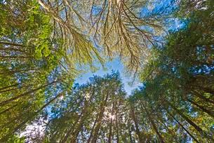 Canopy of giant Eucalyptus trees, Australian Oaksの写真素材 [FYI02860820]