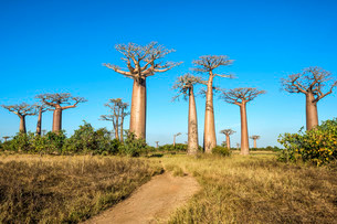 Avenue of the Baobabs, Baobab trees (Adansoniaの写真素材 [FYI02860837]
