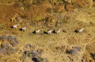 South African Giraffes (Giraffa camelopardalis giraffa)の写真素材 [FYI02860843]