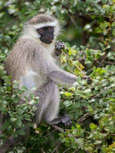 Reddish-green Vervet Monkey (Chlorocebus pygerythrusの写真素材 [FYI02860849]