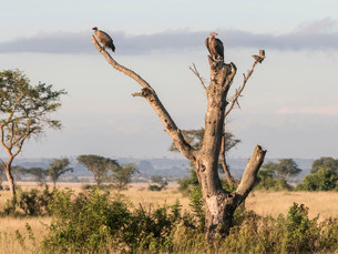 White-backed Vulture (Gyps africanus) and Lappet-facedの写真素材 [FYI02860862]