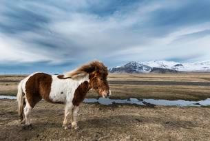 Icelandic horse (Equus przewalskii f. caballus) againstの写真素材 [FYI02860914]