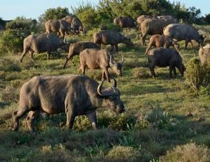 Cape Buffalos (Syncerus caffer), Addo Elephant Nationalの写真素材 [FYI02860917]