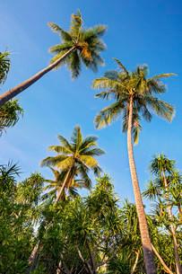 Coconut Palms (Cocos nucifera) and Screwpines (Pandanusの写真素材 [FYI02860921]