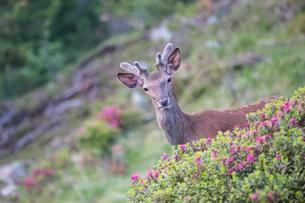 Red deer (Cervus elaphus), young deer with velvet antlersの写真素材 [FYI02860923]