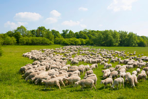 A flock of domestic sheep at the Hainich National Parkの写真素材 [FYI02860943]
