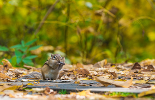 Squirrel stands on the wood path with fallen leafの写真素材 [FYI02860977]