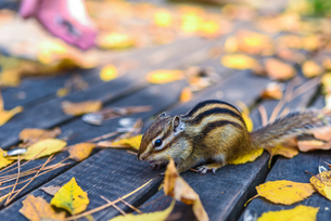 Squirrel stands on the wood path with fallen leafの写真素材 [FYI02861000]