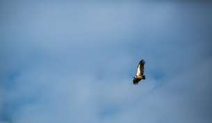 Egyptian Vulture flies over the blue skyの写真素材 [FYI02861003]