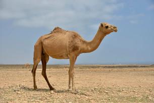 Dromedary (Camelus dromedarius), near Mirbat, Dhofarの写真素材 [FYI02861027]