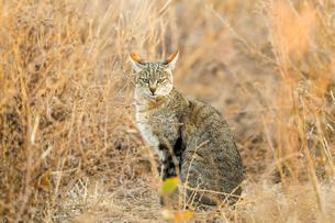 African Wildcat (Felis silvestris lybica), wildcat in Buschの写真素材 [FYI02861059]