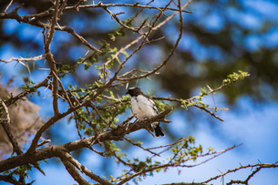 Long-tailed fiscal on the branch of the tree; in Amboseli National Park; Kenya; Africaの写真素材 [FYI02861118]