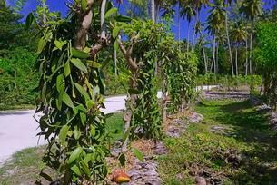 Flat-leaved vanilla, Tahitian vanilla or West Indianの写真素材 [FYI02861213]