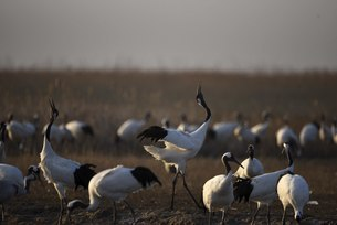 Yancheng, Jiangsu: Red-crowned Cranes in the Morningの写真素材 [FYI02861227]