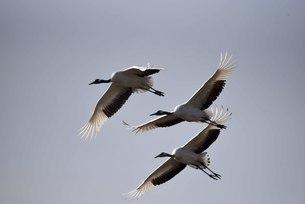 Yancheng, Jiangsu: Red-crowned Cranes in the Morningの写真素材 [FYI02861292]
