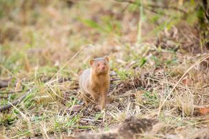 Common Dwarf Mongooseの写真素材 [FYI02861439]