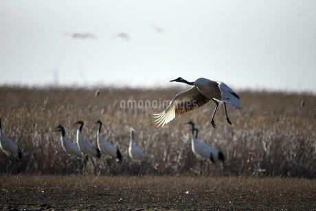 Yancheng, Jiangsu: Red-crowned Cranes in the Morningの写真素材 [FYI02861443]