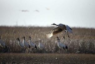 Yancheng, Jiangsu: Red-crowned Cranes in the Morningの写真素材 [FYI02861443]