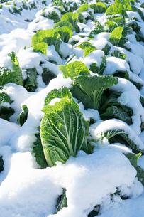 雪に覆われた白菜畑の写真素材 [FYI02861523]