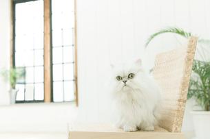 白猫の写真素材 [FYI02862067]