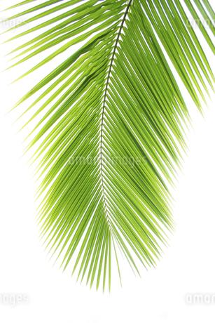 椰子の葉の写真素材 [FYI02862092]