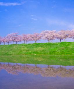 水鏡に写る桜並木 (ソメイヨシノ)と青空の写真素材 [FYI02866841]