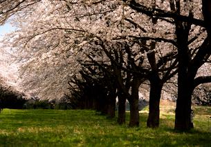 水沢競馬場の桜並木の写真素材 [FYI02867081]