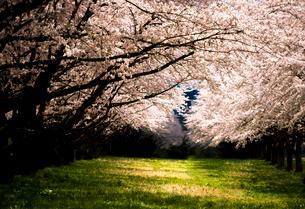 水沢競馬場の桜並木の写真素材 [FYI02867121]