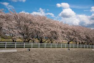 水沢競馬場の桜並木の写真素材 [FYI02867446]