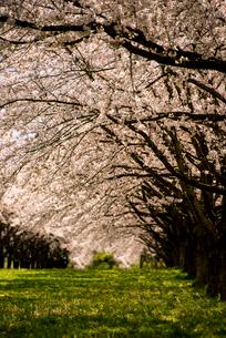 水沢競馬場の桜並木の写真素材 [FYI02867550]