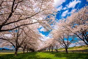 水沢競馬場の桜並木の写真素材 [FYI02867699]