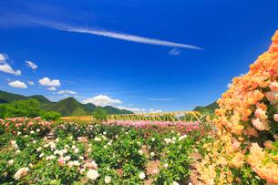バラの花園と大望橋と岩井堂山と冠着山などの里山の写真素材 [FYI02867728]