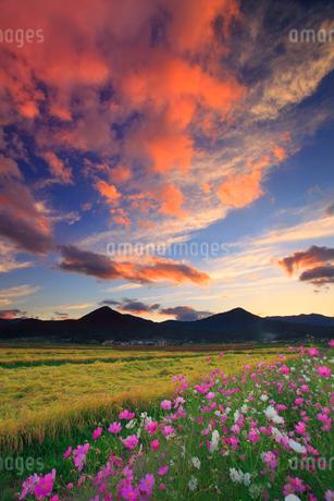 コスモスと夕焼けと稲穂実る田園と夫神岳と女神岳の写真素材 [FYI02868088]