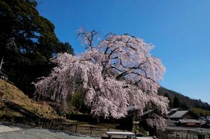 妙祐寺のしだれ桜の写真素材 [FYI02870182]