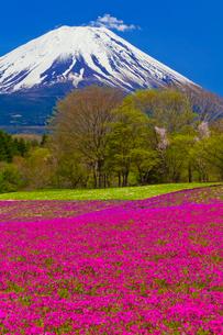 富士山と芝桜の写真素材 [FYI02870219]