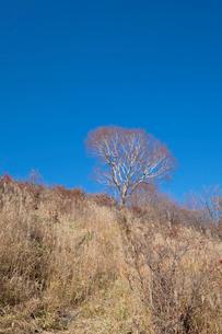 ダケカンバの木の写真素材 [FYI02870235]