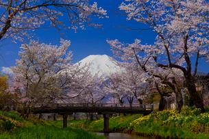 忍野村の桜と富士山の写真素材 [FYI02870365]