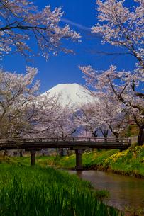 忍野村の桜と富士山の写真素材 [FYI02870401]