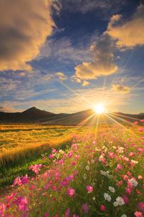 コスモスと夕日の光芒と稲穂実る田園と夫神岳と女神岳の写真素材 [FYI02872418]