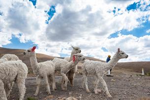 毛刈り後のアルパカの群れの写真素材 [FYI02872851]