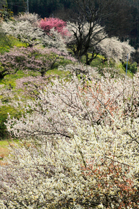 栃本梅林の写真素材 [FYI02876077]