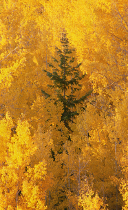 Elevated view over the tops of the aspen treesの写真素材 [FYI02878794]