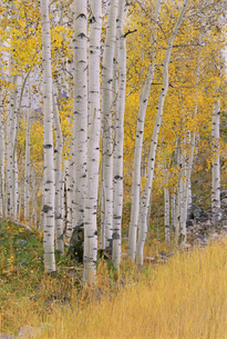 Aspen trees in autumn with white bark and yellow leaves.の写真素材 [FYI02878933]