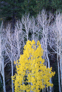 Aspen trees, with yellow brown foliage, and pine treesの写真素材 [FYI02878962]