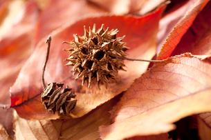 桜の落ち葉とメタセコイアの実とアメリカフウの実(モミジバウフの写真素材 [FYI02879867]