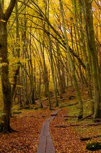 Sweden, Skane, Soderasen, Wooden overpass through national park in autumnの写真素材 [FYI02880461]
