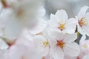 桜の花の写真素材 [FYI02893543]