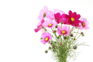 コスモスの花束の写真素材 [FYI02893547]
